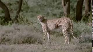 Cheetahs: Against All Odds