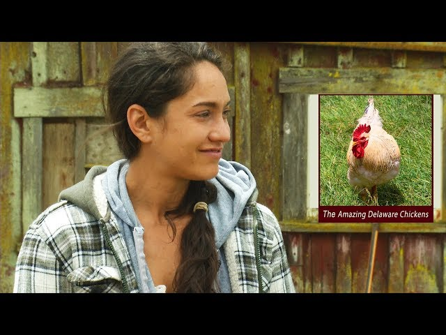 The Amazing Delaware Chickens - A Heritage Breed