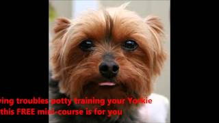 Quickly House Train Your Yorkshire Terrier- Free Mini-course On House Training A Yorkshire Terrier