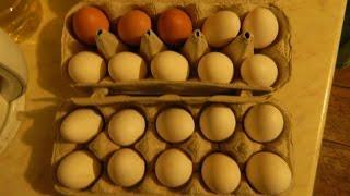 видео Когда куры начинают нести яйца породы кур хайсекс адлерская
