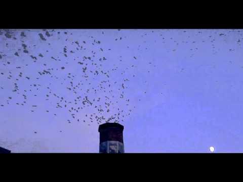 Vaux's  Swifts at the Chapman School (with bird of prey!)