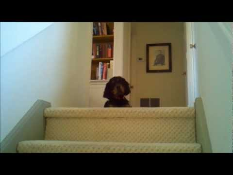 Gordon Setter puppy Archie on the stairs 3