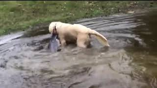 Dog Catches Huge Catfish and Drags it out of the Lake - 1009700