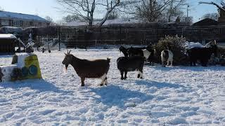 Goats & Alpacas