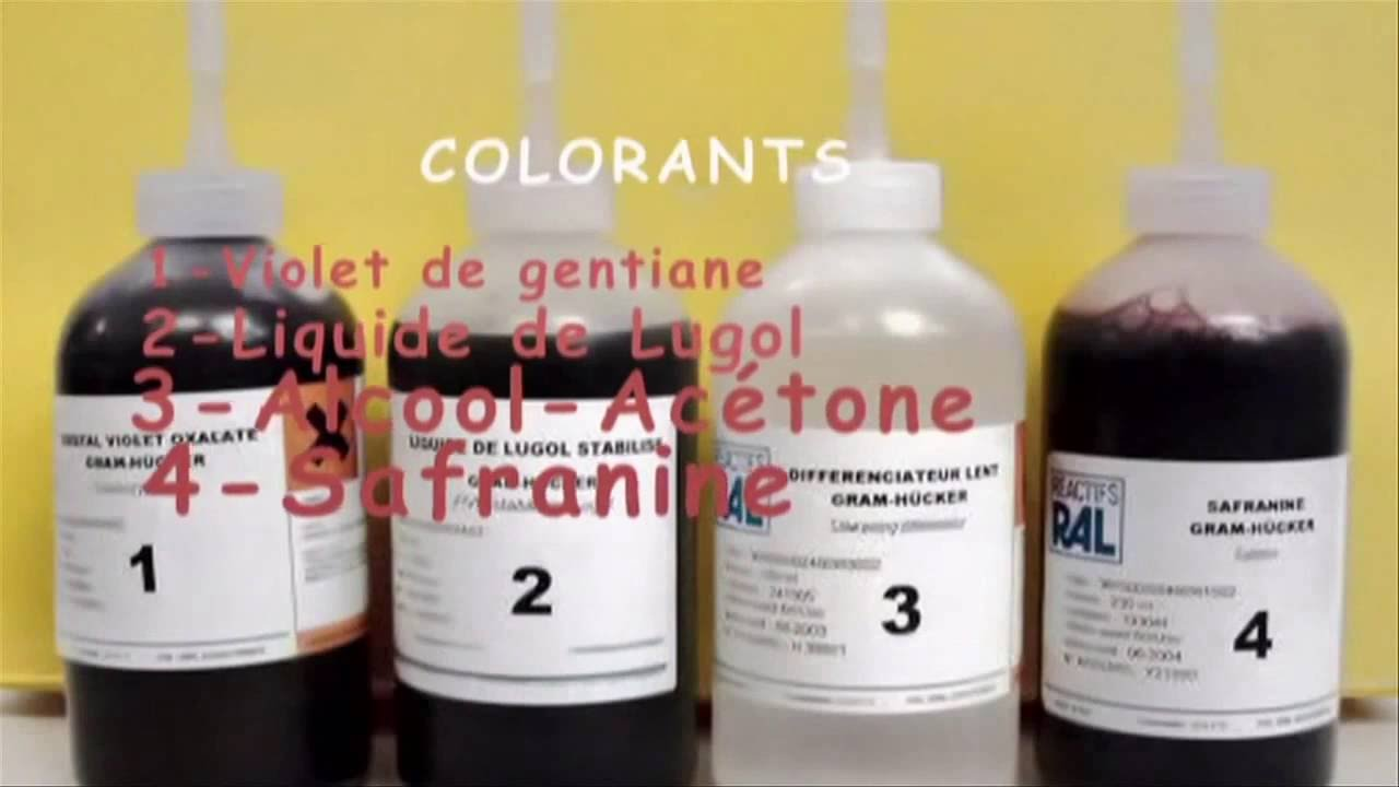 la coloration de gram - Coloration Gram