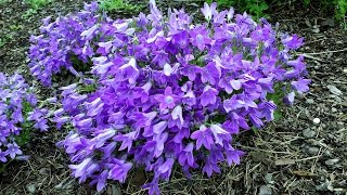 Best Perennials - Campanula Catharina (dalmatian Bellflower)