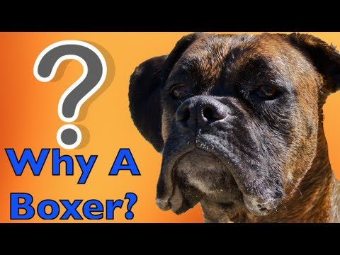Why Would You Choose a Boxer?! BROCK THE BOXER DOG