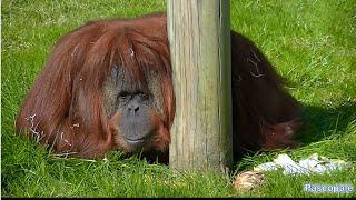 Un Orang-outan qui se fait chier