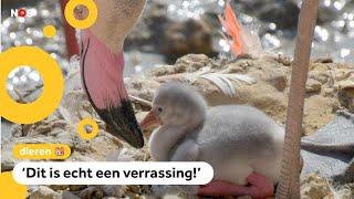 Superveel flamingo's uit het ei gekropen in Limburgse dierentuin