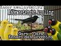 Kacer Main Setengah Kopling Pancingan Kacer Buka Ekor Bongkar Isian Kacer Mana Yang Tidak Respe  Mp3 - Mp4 Download