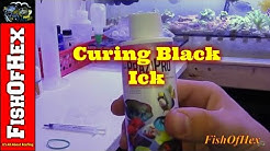 How to Cure Black Ick | Turbellarian Flat Worm