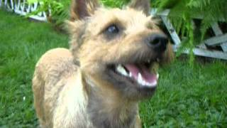 Pogo-cairn Terrier Mix-cpcrn-tag#3015 1 Of 2 Movies