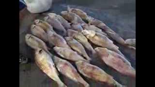 Pesca de Corvinas en Los Pocitos, Pcía de Bs. As. Partido de Patagones.