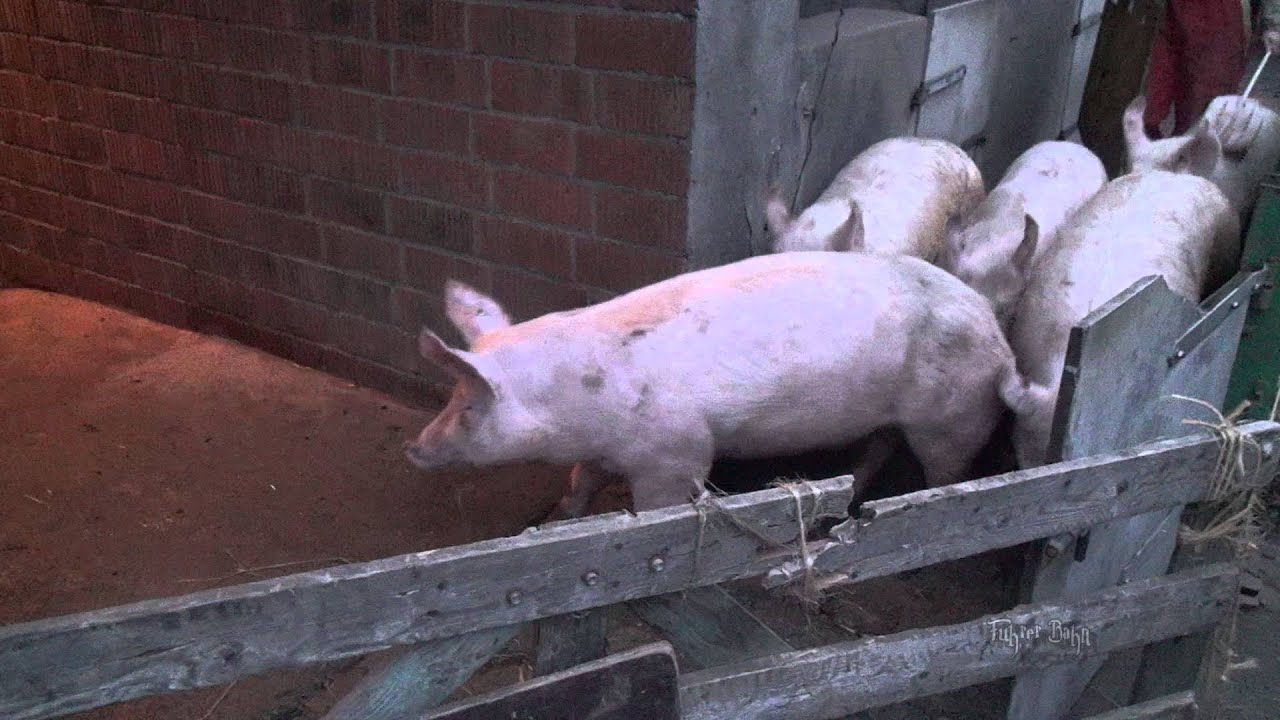 Schweine Abstechen