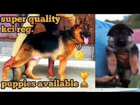 Top quality German Shepherd puppy available for sale l dogs for sale
