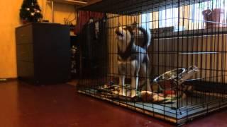Хаски одна дома(Экспериментальное видео, как себя поведёт собака, когда остаётся одна дома. Собака у нас месяц. Ей 4 мес...., 2016-01-29T14:14:17.000Z)