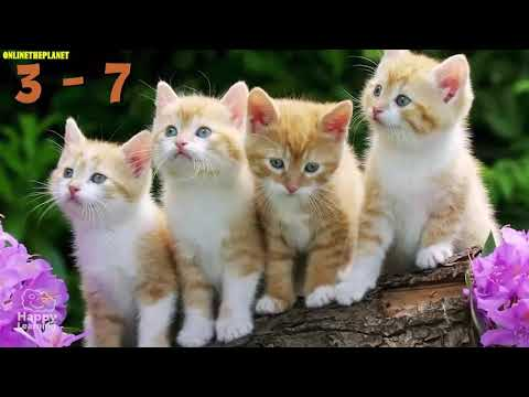 Maine Coon Cat Animal  Lovers Onlinetheplanet Videos Compilation 2019