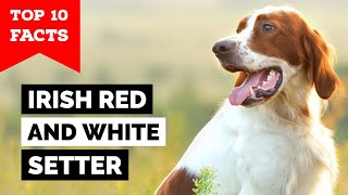 Irish Red And White Setter  Top 10 Facts