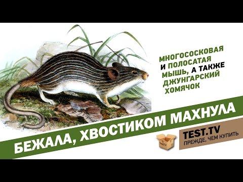TEST.TV: Экзотические грызуны джунгарики и многососковые мыши.