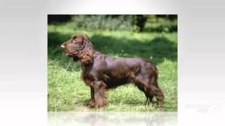 Филд-спаниель порода собак