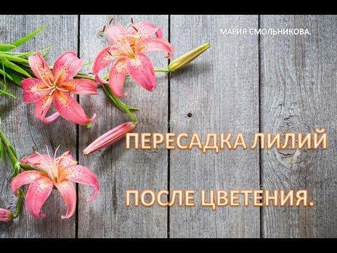 Пересадка лилий после цветения.