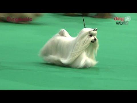 Birmingham National Dog Show 2016 - Toy group Shortlist