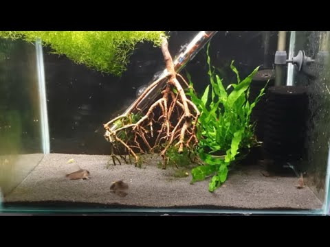 HOW TO BREED CORYDORAS CATFISH PART 1