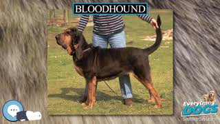 Bloodhound  Everything Dogs