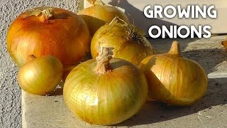 How To Plant, Grow & Harvest Onions in Whisky Barrel Containers