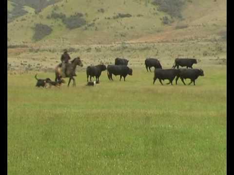 Working Sheepdogs in New Zealand