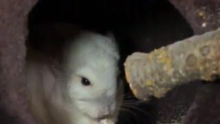 CHINCHILLAS - Preparing the cage