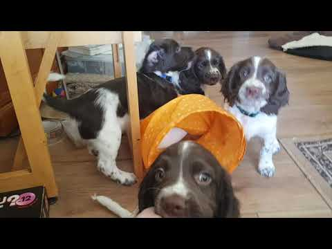 Tias 7 Week Old English Springer Spaniels Puppy, Puppys, Puppies Playing