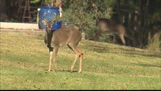 Zombie Deer Disease