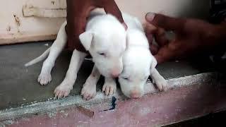 Rajapalayam dogs sales-8637495825,8637496195,8667356393