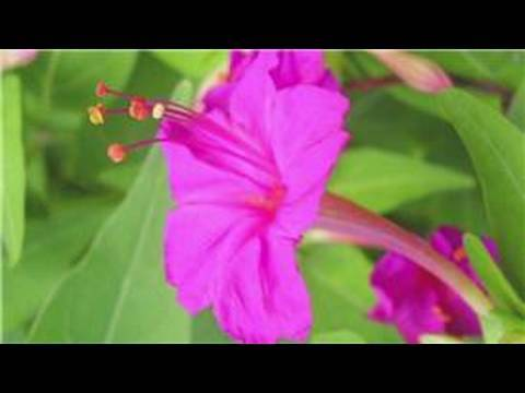 Gardening From Seeds : How to Plant 4 o' Clock Seeds