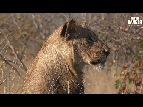 Lion Pride Watch A Buffalo Herd Then Regroup And Rest