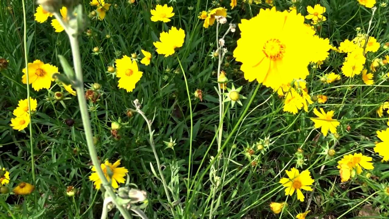 Flores Amarelas Do Campo Youtube