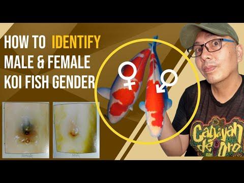 How To Identify Koi Fish Gender