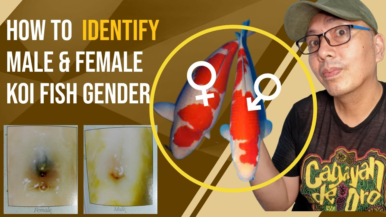 How To Breed Koi Fish Step By Step 1 Identify Male And -9813