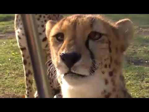 豹的叫聲是什麼