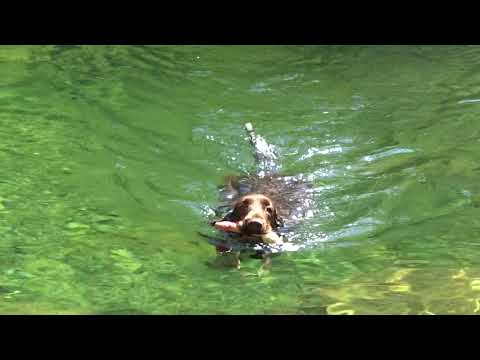 Field Spaniel - water retrieving