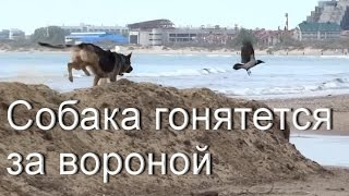Собака гоняется за воронами. Анапа, 2016. Пляж, река Анапка.