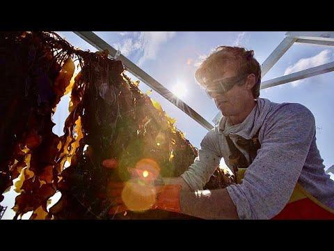 Морская капуста удивляет