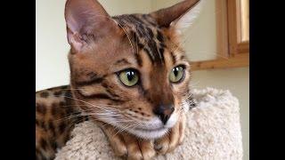 Любовь нечаянно нагрянет...) Бенгальские кошки Симба и Нала Exotic Pride
