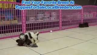 Shih Tzu  Puppies For Sale Local Breeders