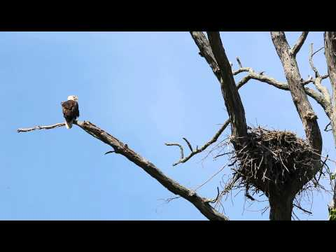 Eagle Nest in Maryland