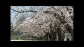 内野小学校の桜 見事に満開!2014.4.13マイ ムービー