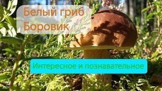 Белый гриб БОРОВИК интересное и познавательное