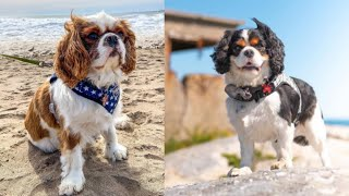 Cavalier King Charles Spaniel dog breeds from @sullykoda