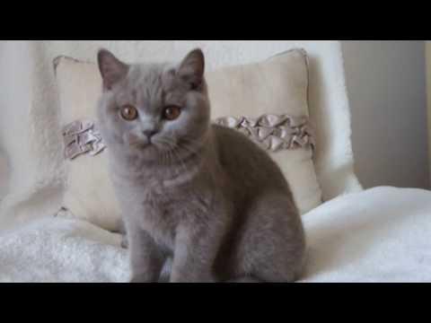 Koty Brytyjskie Liliowe Harry 35 M Ca British Shorthair Cattery